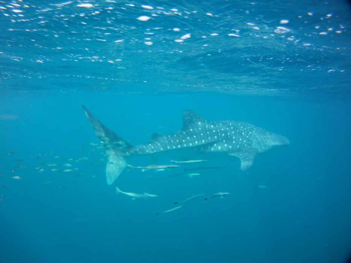 Swimming with Whalesharks at Ningaloo Reef, Western Australia