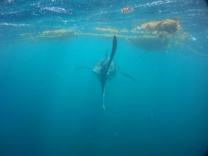 Swimming behind a Whaleshark, Ningaloo Reef, Western Australia