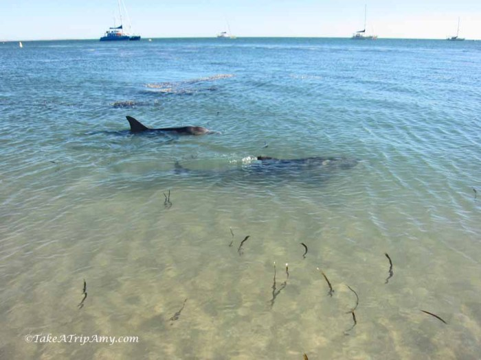 Wild dolphins swim to shore at Monkey Mia, Shark Bay World Heritage Area, Western Australia - Take a Trip Amy