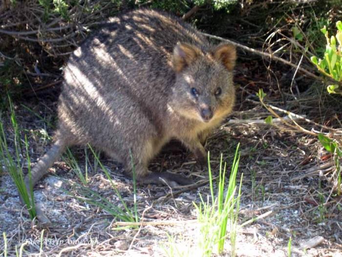 Quokka, Rottenest Island, Western Australia