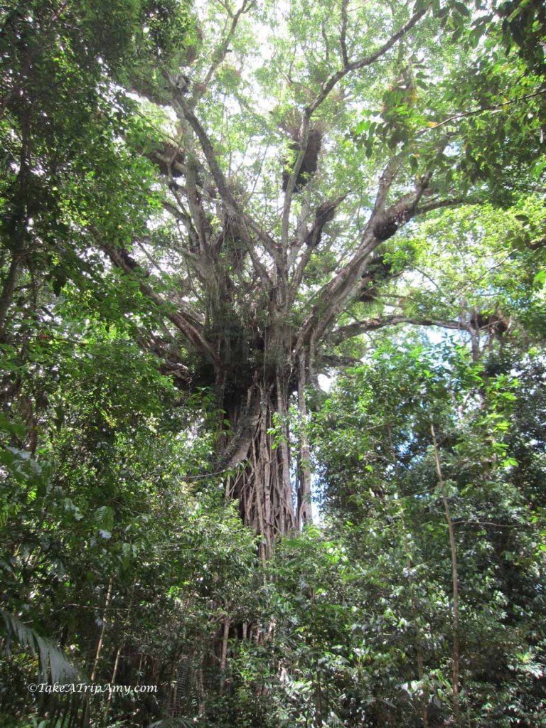 Cathedral Fig Tree, Atherton Tablelands, QLD, Australia