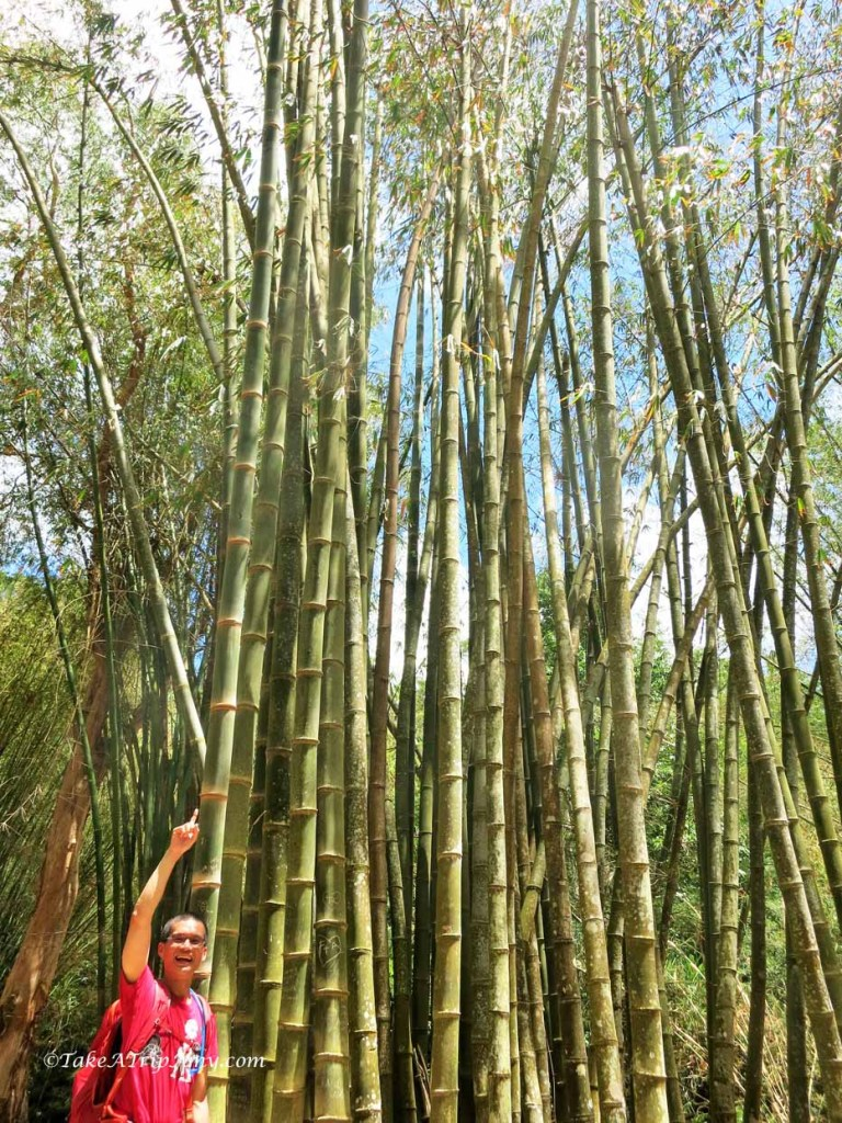 Bamboo at Cairns Botanical Gardens, QLD, Australia
