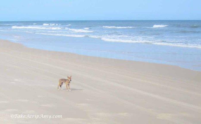 Wild Dingos, Fraser Island, QLD, Australia