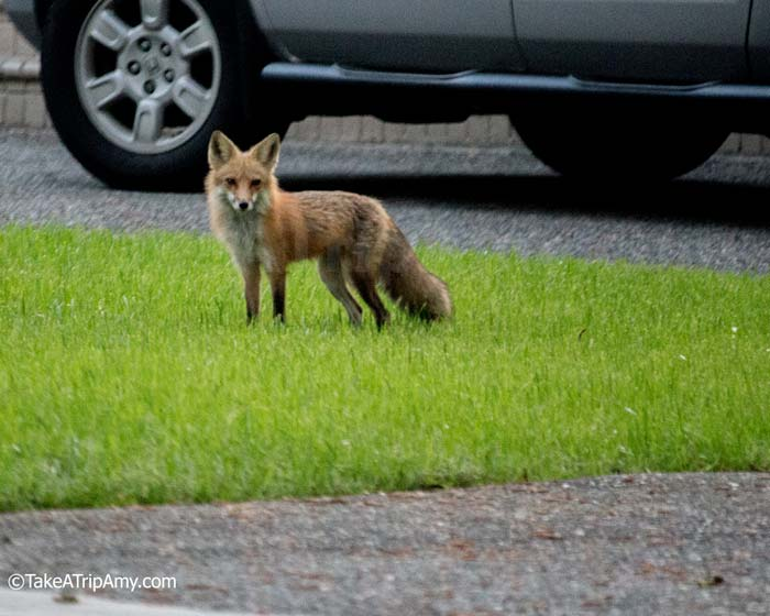 The neighborhood's wild fox