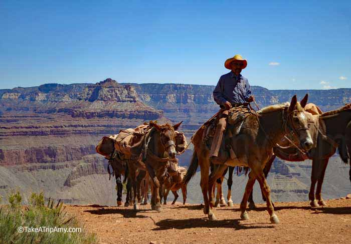 Pack mules at Cedar Ridge on the South Kaibab Trail, Grand Canyon National Park, AZ, USA.