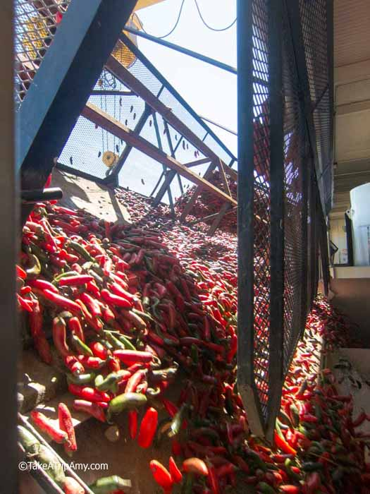 Freshly picked chilies cascade into the hopper to be washed, sorted, rinsed, and ground into the chili base.